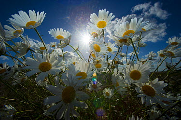 Oxeye daisy, Marguerite flowers (Leucanthemum vulgare) in open meadow Hope Farm RSPB reserve, Cambridgeshire, UK, May  -  Andrew Parkinson/ 2020V/ npl