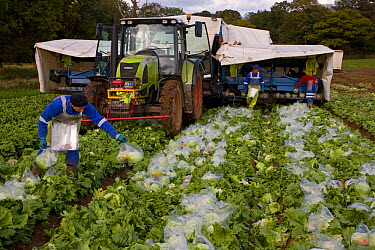 Harvesting Lettuces, putting the lettuces into plastic bags for transfer to supermarket, Norfolk, UK, Autumn  -  Ernie Janes/ npl