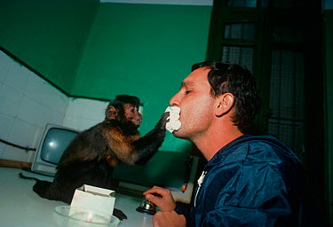 A capuchin monkey (Cebus sp) wipes the face of its owner with a napkin The monkey is trained to be a companion and assistant for its owner, who has physical disabilities, and it can perform many simpl...  -  Jeff Rotman/ npl