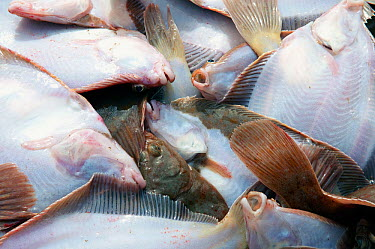 Catch of Yellowtail flounder (Limanda ferruginea) in pile on fishing boat deck, about to be sorted by size Stellwagon Bank, New England, USA, Atlantic Ocean, October  -  Jeff Rotman/ npl