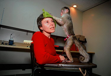 A Capuchin monkey (Cebus sp) uses a cloth to rub its owner's face and relieve her of itching The monkey is trained to be a companion and assistant for its owner, who has physical disabilities, and it...  -  Jeff Rotman/ npl