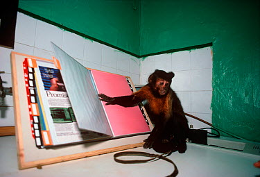 Capuchin monkey (Cebus sp) turns the page of a book The monkey is trained to be a companion and assistant for its owner, who has physical disabilities, and it can perform many simple tasks on request...  -  Jeff Rotman/ npl