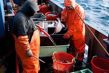 New England fishermen cleaning, washing, and measuring their catch of Yellowtail flounder (Limanda ferruginea) on board to make sure they follow regulation standards Stellwagon Bank, New England, USA,...  -  Jeff Rotman/ npl
