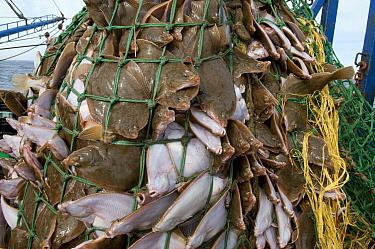 Yellowtail flounder (Limanda ferruginea) caught in an overflowing dragger fishing net Stellwagon Bank, New England, USA, Atlantic Ocean, October 2009  -  Jeff Rotman/ npl