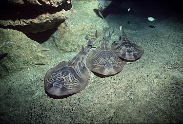 Three Eastern fiddler rays (Trygonorrhina fasciata) resting on seabed at night, Great Australian Bight, Australia, Indian Ocean  -  Jeff Rotman/ npl