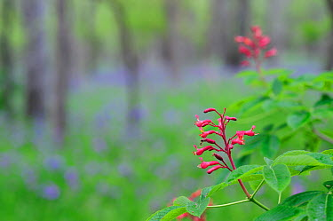 Red Buckeye (Aesculus pavia) flowers blooming Palmetto State Park, Gonzales County, Texas, USA, March  -  Rolf Nussbaumer/ npl