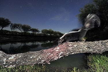 Striped Skunk (Mephitis mephitis), adult at night walking on log Laredo, Webb County, South Texas, USA, April  -  Rolf Nussbaumer/ npl