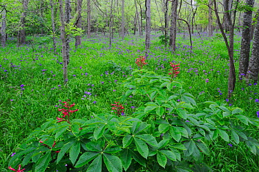 Red Buckeye (Aesculus pavia) and Prairie Spiderwort (Tradescantia occidentalis), blooming on forest floor, Palmetto State Park, Gonzales County, Texas, USA, March  -  Rolf Nussbaumer/ npl