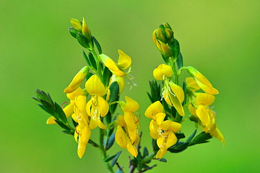 Petty, Needle Whin (Genista angelica) in flower UK, April  -  Colin Varndell/ npl