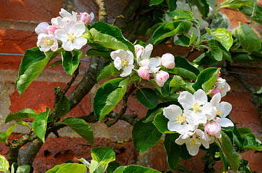 Apple Blossom (Malus sylvestris) 'Braddicks Nonpareil' variety Norfolk, England, April  -  Gary K. Smith/ npl