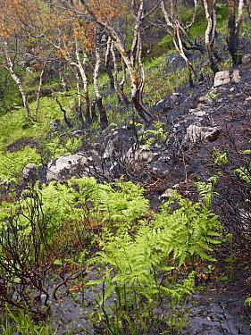 Fire-damaged woodland landscape, near Lochinver, Coigach, Assynt SWT, Sutherland, Highlands, Scotland, UK, June 2011  -  Joe Cornish/ 2020V/ npl