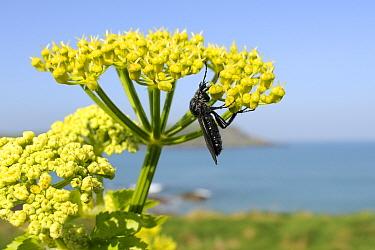 Female StMark's, March Fly (Bibio marci) feeding on Alexanders (Smyrnium olusatrum) flowerhead on coastal cliff overlooking Camel esturary and Atlantic sea Trebetherick, Cornwall, UK, April  -  Nick Upton/ npl