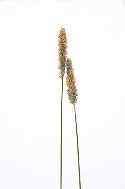 Timothy Grass (Phleum pratense) flowering stems against a white background From Picardie, France, April  -  Pascal Tordeux/ npl