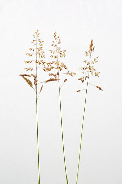 Smooth Meadow Grass, Kentucky Blugrass, Common Meadow Grass (Poa pratensis) against a white background From Picardie, France, June  -  Pascal Tordeux/ npl