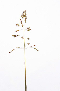 Annual Bluegrass (Poa annua) against a white background From Picardie, France, May  -  Pascal Tordeux/ npl