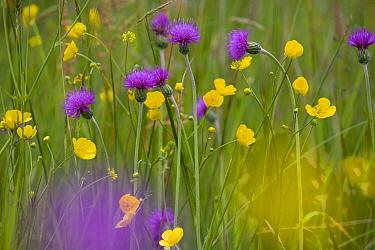 Melancholy Thistle (Cirsium helenoides) and Buttercups (Ranunculus sp) flowering in meadow, UK  -  Ernie Janes/ npl