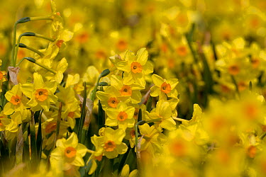 Cultivated Daffodils (Narcissus sp) flowering, Happisburgh, Norfolk, UK, March  -  Ernie Janes/ npl