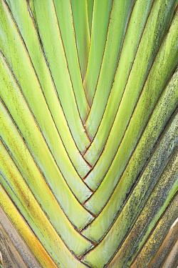 Travelers Palm (Ravenala madagascariensis) leaf detail Maui, Hawaii, February  -  Rob Tilley/ npl