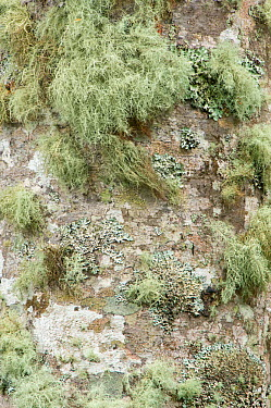 Red Alder (Alnus rubra) trunk detail with moss and lichen Fort Columbia, Washington, USA, October  -  Rob Tilley/ npl