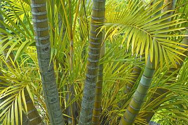 Areca Palm (Palmae) leaves and trunks Maui, Hawaii, February  -  Rob Tilley/ npl