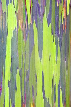 Rainbow Eucalyptus (Eucalyptus sp) bark detail Maui, Hawaii, February  -  Rob Tilley/ npl
