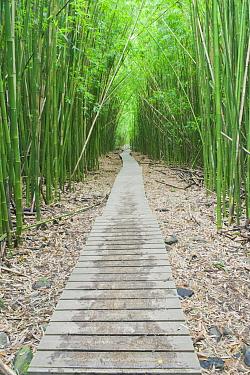 Pipiwai Trail through Bamboo (Bambuseae) forest Maui, Hawaii, February  -  Rob Tilley/ npl