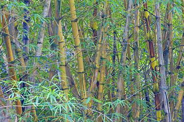 Bamboo (Bambuseae) forest undergrowth Oahu, Hawaii, February  -  Rob Tilley/ npl