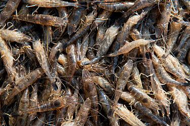 A catch of Common shrimps (Crangon crangon) Camargue, Provence, France, December  -  Jean E. Roche/ npl