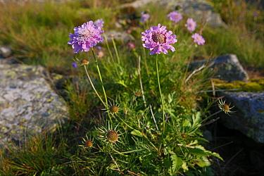Shining Scabious (Scabiosa lucida) at Kopa Bukowska Peak Bieszczady National Park, the Carpathians, Poland, July  -  Grzegorz Lesniewski/ npl