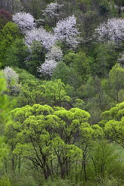 Riparian forest with Crack Willow (Salix fragilis), White Willow (Salix alba) and blooming Wild Cherry (Prunus avium) Bieszczady Mountains, the Carpathians, Poland, May  -  Grzegorz Lesniewski/ npl