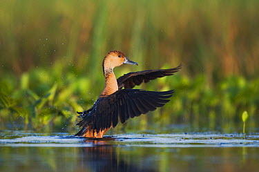 Fulvous Whistling-Duck (Dendrocygna bicolor) adult stretching its wings in water Sinton, Corpus Christi, Coastal Bend, Texas, USA, June  -  B&S Draker/ NPL