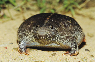 Mexican Burrowing Toad (Rhinophrynus dorsalis) adult bloated as defense Starr County, Rio Grande Valley, Texas, USA  -  B&S Draker/ NPL