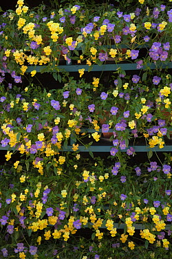 Pots of Yellow and Mauve pansies (Viola sp) on shelving, UK  -  Ernie Janes/ npl