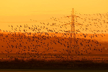 Large flock of Dark-bellied brent goose (Branta bernicla bernicla) at dusk, flying past electricity pylons next to London Array Windfarm onshore substation, Graveney, Kent, UK, December 2010  -  Terry Whittaker/ 2020V/ npl