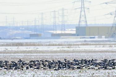 Flock of Dark-bellied brent geese (Branta bernicla bernicla) feeding on frozen crop field with London Array Windfarm onshore substation in the background, Graveney, Kent, UK, December 2010  -  Terry Whittaker/ 2020V/ npl