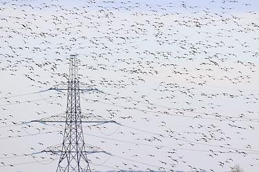 Large flock of Dark-bellied brent geese (Branta bernicla bernicla) in flight with London Array Windfarm onshore substation in the background, Graveney, Kent, UK, December 2010  -  Terry Whittaker/ 2020V/ npl