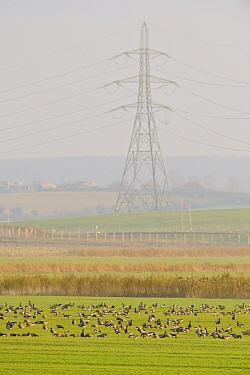 Flock of Dark-bellied brent geese (Branta bernicla) feeding on fields with pylon of the London Array Windfarm onshore substation in the background, Graveney, Kent, UK, November 2010  -  Terry Whittaker/ 2020V/ npl