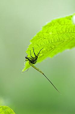 Mayfly (Ephemera danica) Cast case of subimago, or dun Surrey, England, May  -  Adrian Davies/ npl