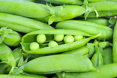 Freshly picked garden Peas (Pisum sativum) 'Twinkle' variety Norfolk, England, July  -  Gary K. Smith/ npl