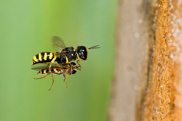 Hunting Wasp (Ectemnius cavifrons) female carrying paralysed hoverfly in flight toward tunnel entrance in rotten log Hertfordshire, England, UK, July  -  Andy Sands/ npl