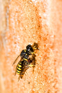 Hunting Wasp (Ectemnius cavifrons) female with paralysed hoverfly at tunnel entrance in rotten log Hertfordshire, England, UK, July  -  Andy Sands/ npl