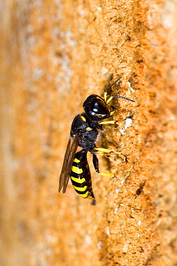 Hunting Wasp (Ectemnius cavifrons) male excavating nesting tunnel in rotten log Hertfordshire, England, UK, July  -  Andy Sands/ npl