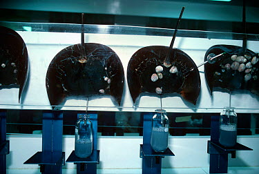 Scientists use technology to bleed Horseshoe Crabs (Limulus polyphemus) to extract blue, copper based blood, lysate, used in testing purity levels in various medicines Woods Hole Oceanographic Institu...  -  Jeff Rotman/ npl