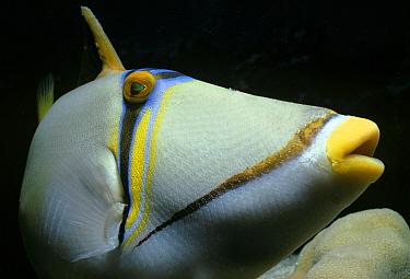 Picasso triggerfish (Rhinecanthus assasi) portrait, Red Sea, Egypt  -  Jeff Rotman/ npl