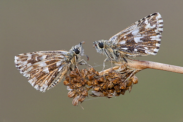 Two Grizzled skipper butterflies (Pyrgus malvae) facing each other on seed head, Brasschaat, Belgium, April  -  Bernard Castelein/ npl