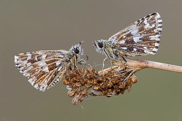 Two Grizzled skipper butterflies (Pyrgus malvae) facing each other on seed head, Brasschaat, Belgium, April  -  Bernard Castelein/ npl