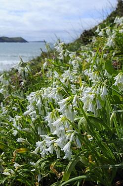 Three Cornered Leek, Three Cornered Garlic (Allium triquetrum), an invasive species in the UK, flowering in dense clumps on coastal headland Pentire Head, near Polzeath, Cornwall, April  -  Nick Upton/ npl