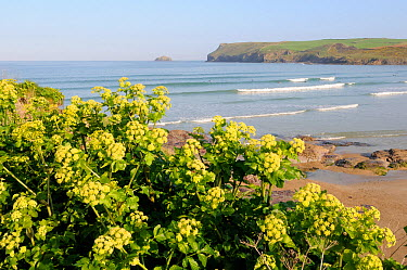 Alexanders (Smyrnium olusatrum) flowering on coastal cliff overlooking Hayle bay, with Pentire head and surfers in the background Polzeath, Cornwall, UK, April  -  Nick Upton/ npl
