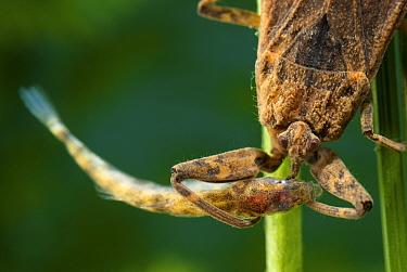 Water Scorpion (Nepa cinerea) with small fish prey Europe, July  -  Jan Hamrsky/ npl