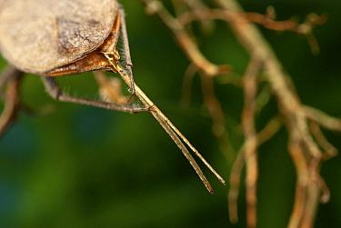Water Scorpion (Nepa cinerea) grooming its tail Europe, July  -  Jan Hamrsky/ npl